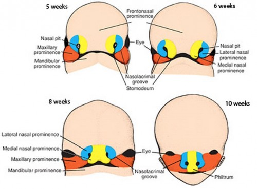 frontonasal prominence and the maxillary prominences
